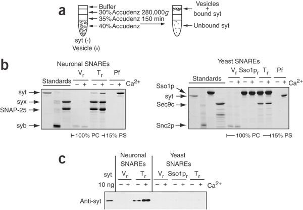 Ca 2+ –synaptotagmin directly regulates t-SNARE function