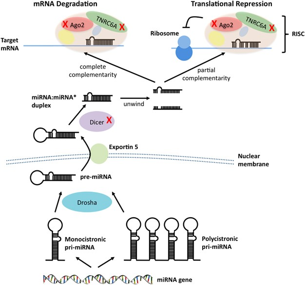 abdominal cancer gene