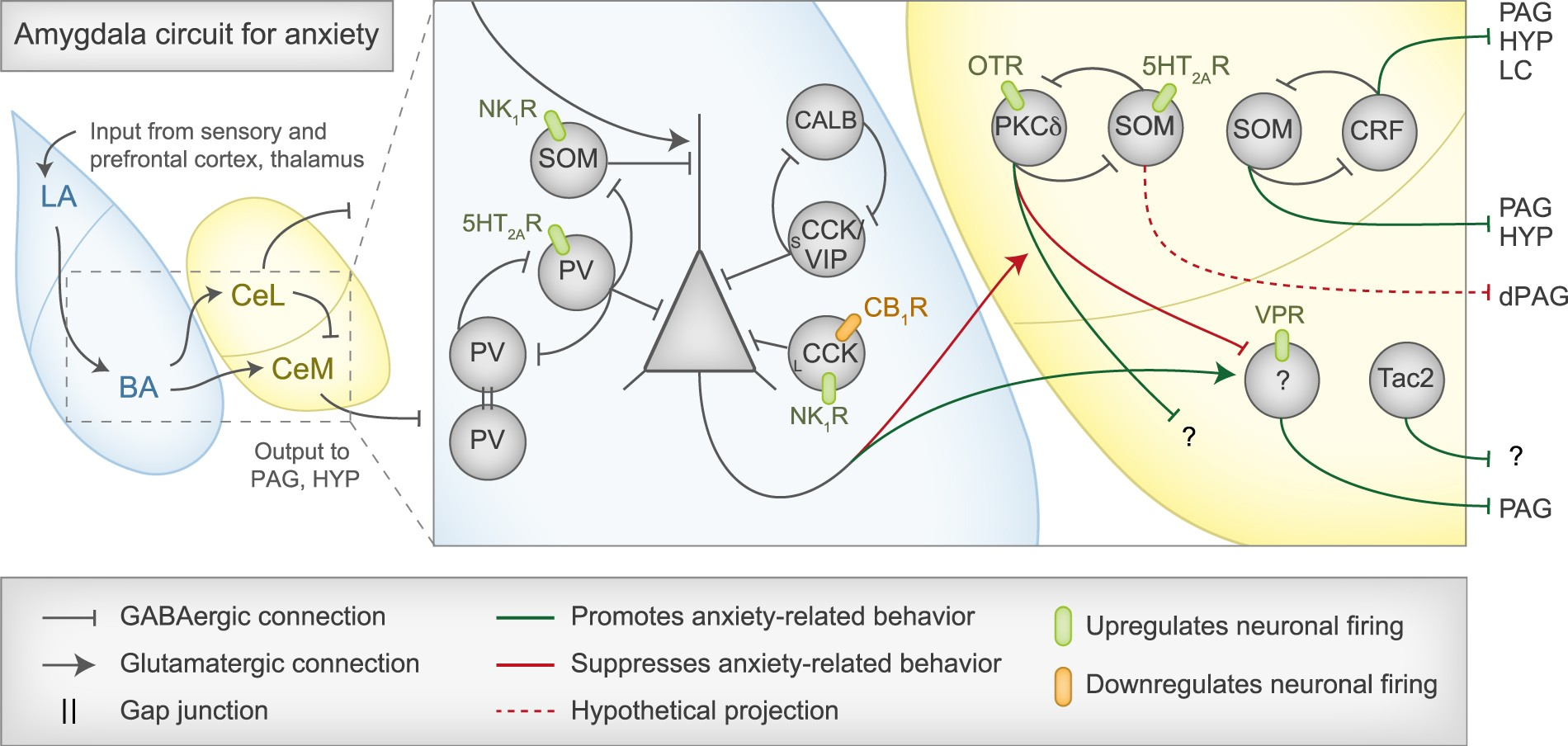 Anxiety May Alter Processing Of >> Inhibition In The Amygdala Anxiety Circuitry Experimental