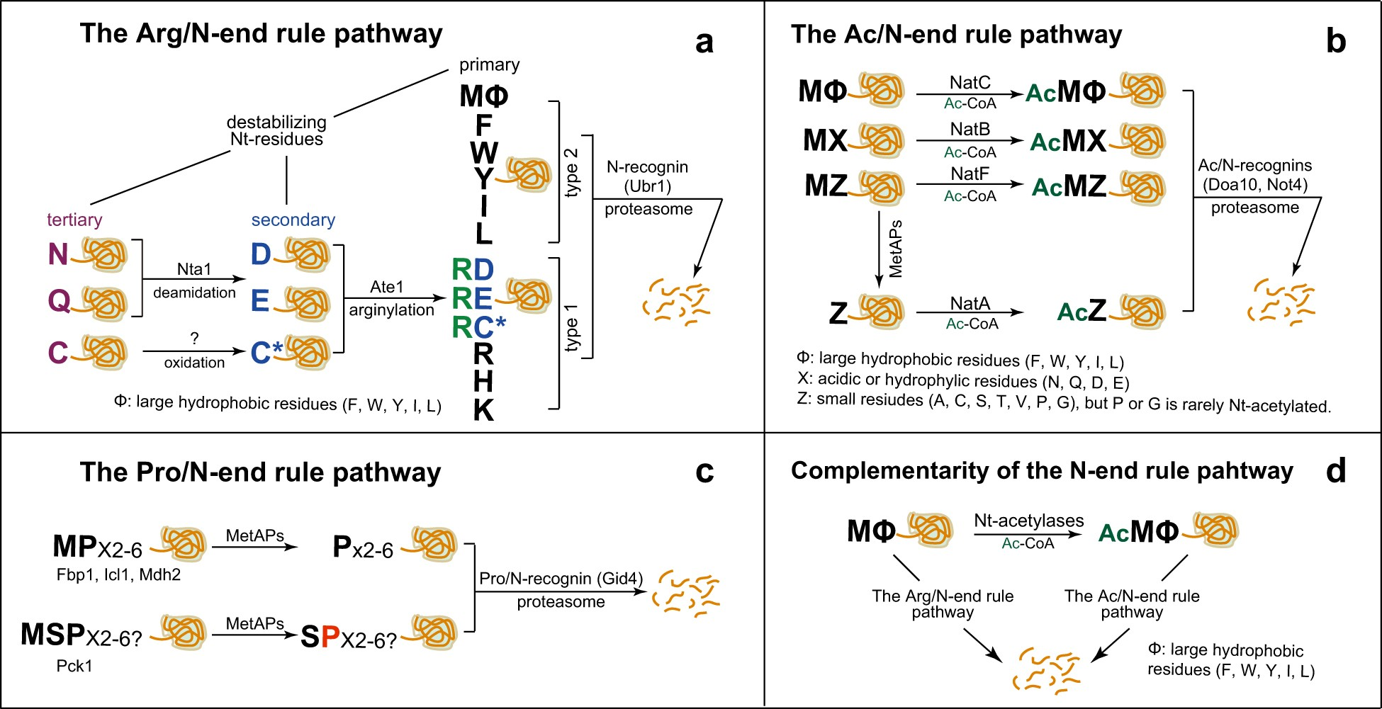 Control of protein degradation by N-terminal acetylation and the N-end rule  pathway   Experimental & Molecular Medicine