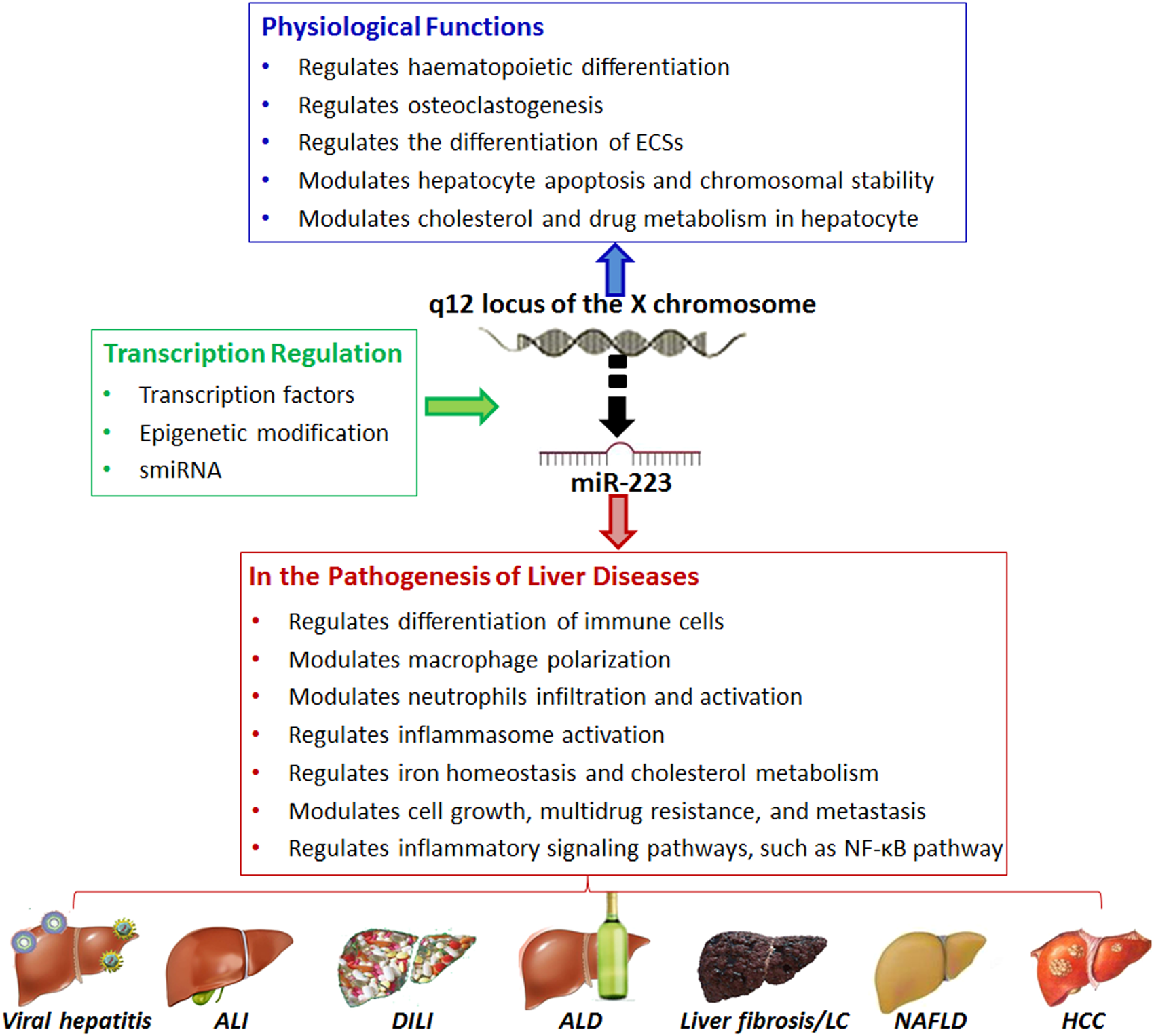 Role Of Mir 223 In The Pathophysiology Of Liver Diseases