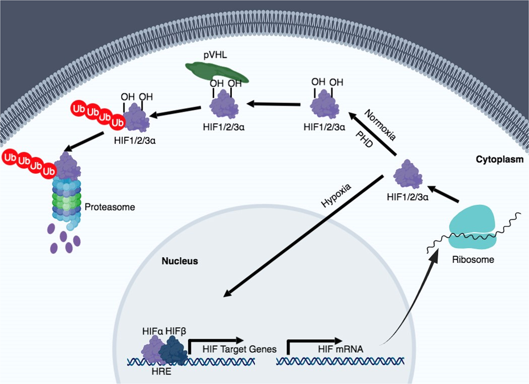 Hypoxia signaling in human diseases and therapeutic targets