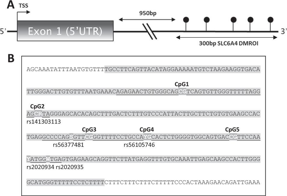 Differential SLC6A4 methylation: a predictive epigenetic