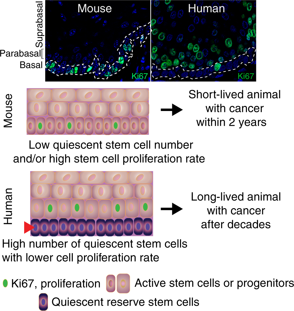 Divide and conquer: two stem cell populations in squamous