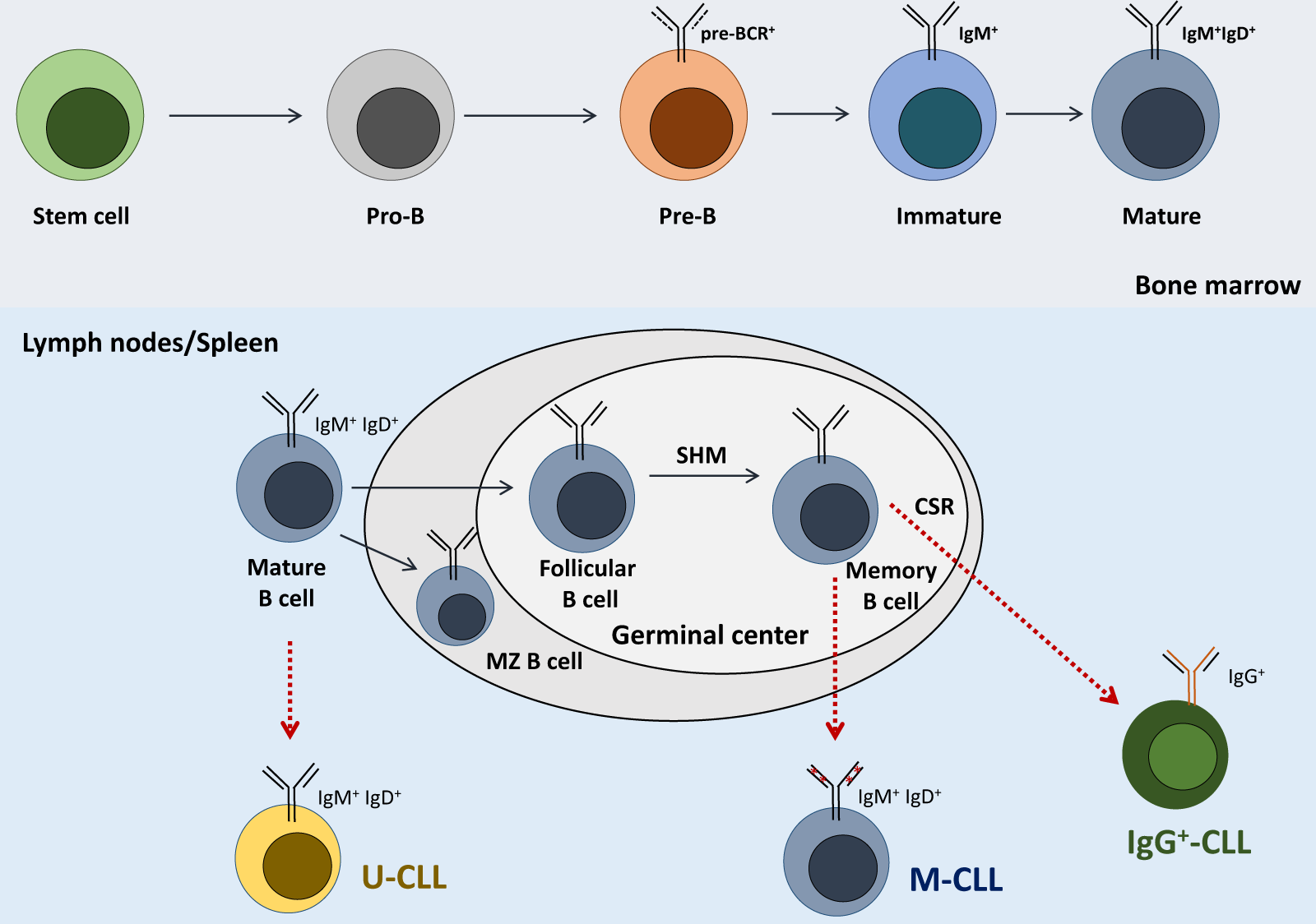 The importance of B cell receptor isotypes and stereotypes in chronic  lymphocytic leukemia | Leukemia