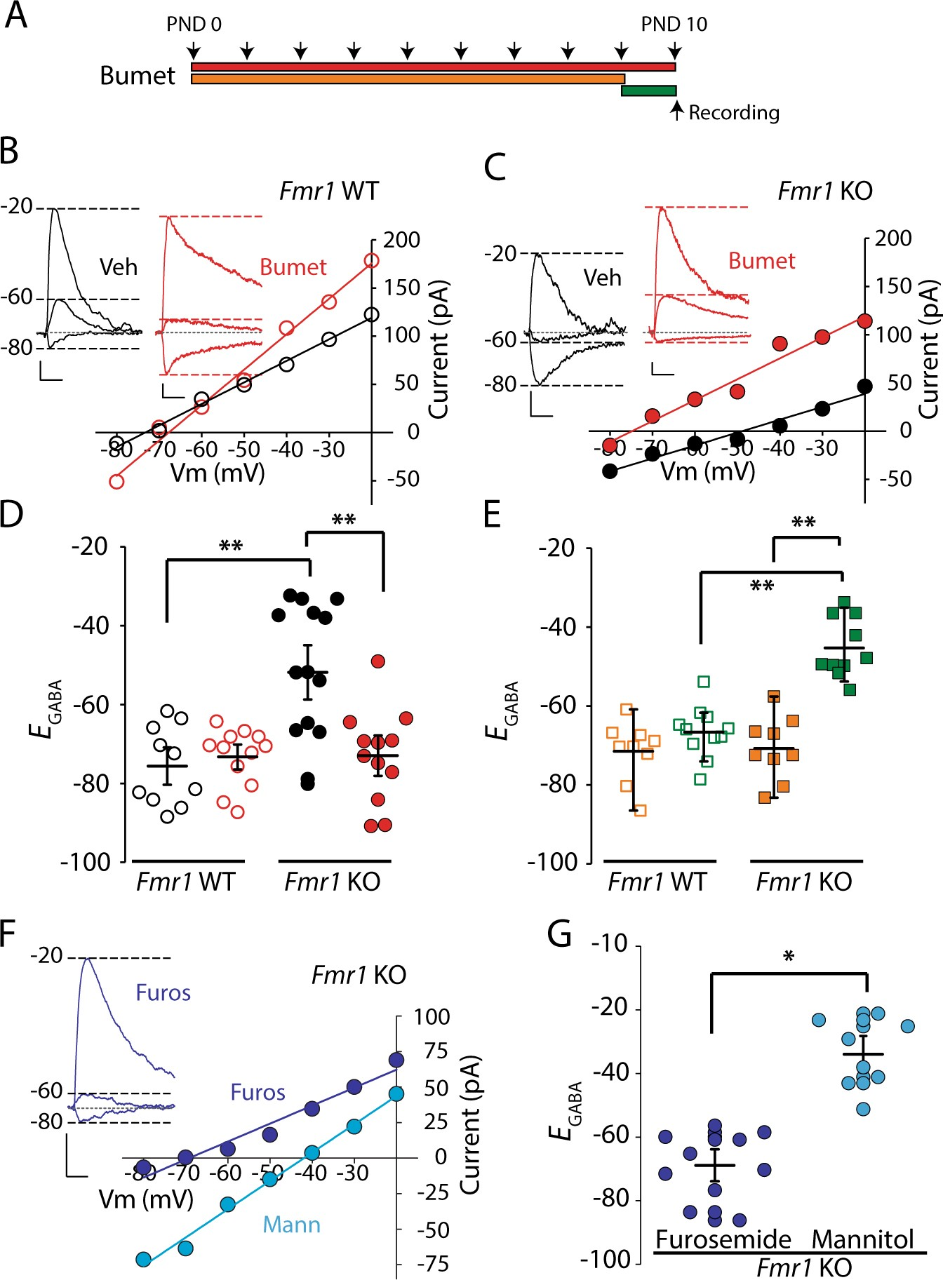 critical period inhibition of nkcc1 rectifies synapse plasticity in
