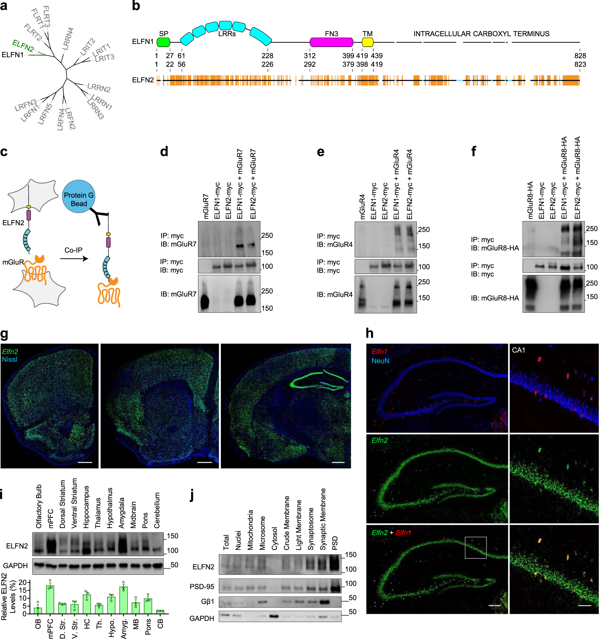 ELFN2 is a postsynaptic cell adhesion molecule with ... on