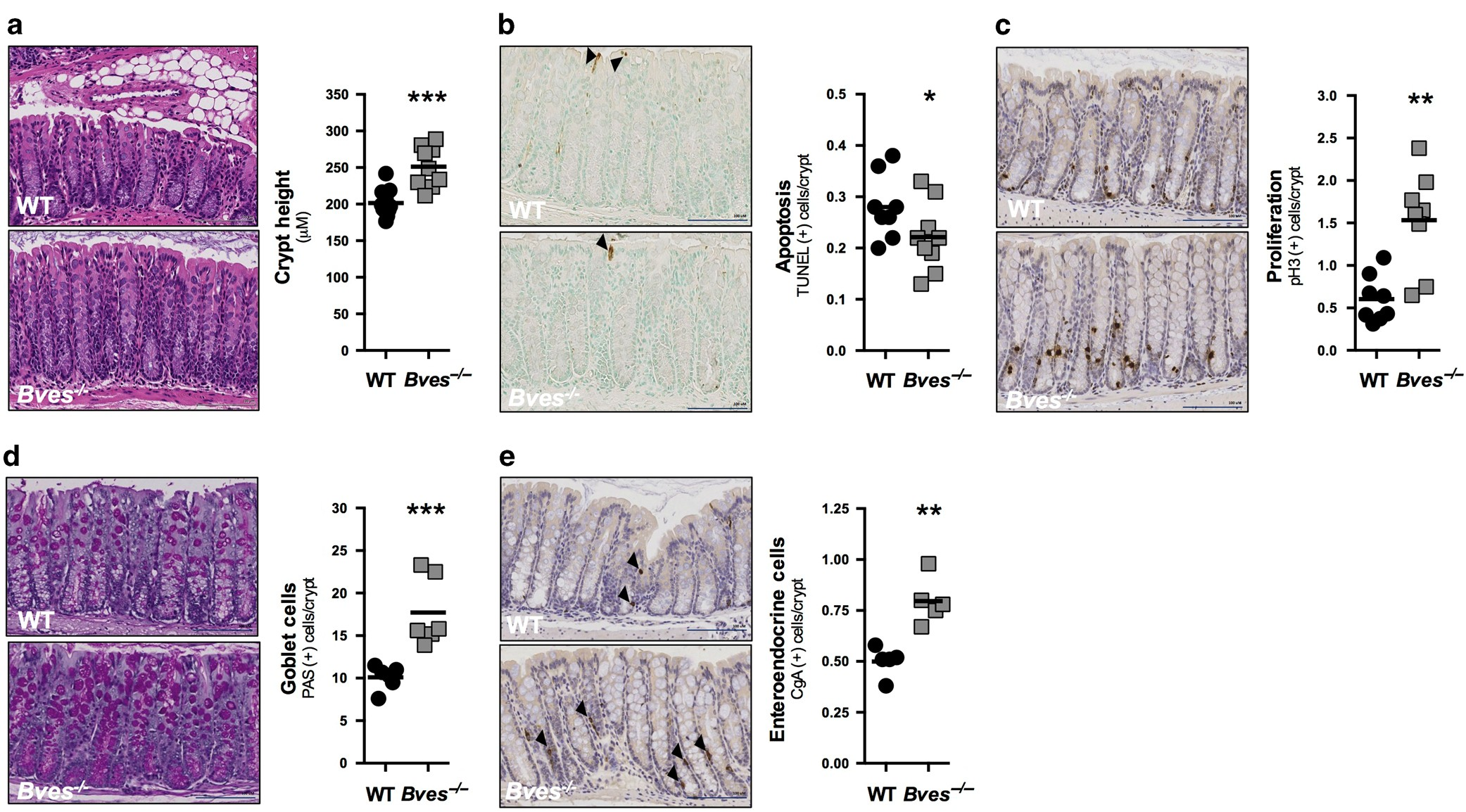 BVES is required for maintenance of colonic epithelial integrity in