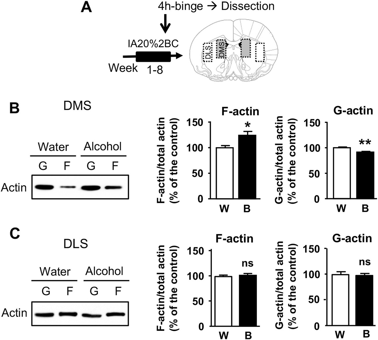 Mtorc2 In The Dorsomedial Striatum Of Mice Contributes To Alcohol Cheap Tester Circuit Dependent F Actin Polymerization Structural Modifications And Consumption
