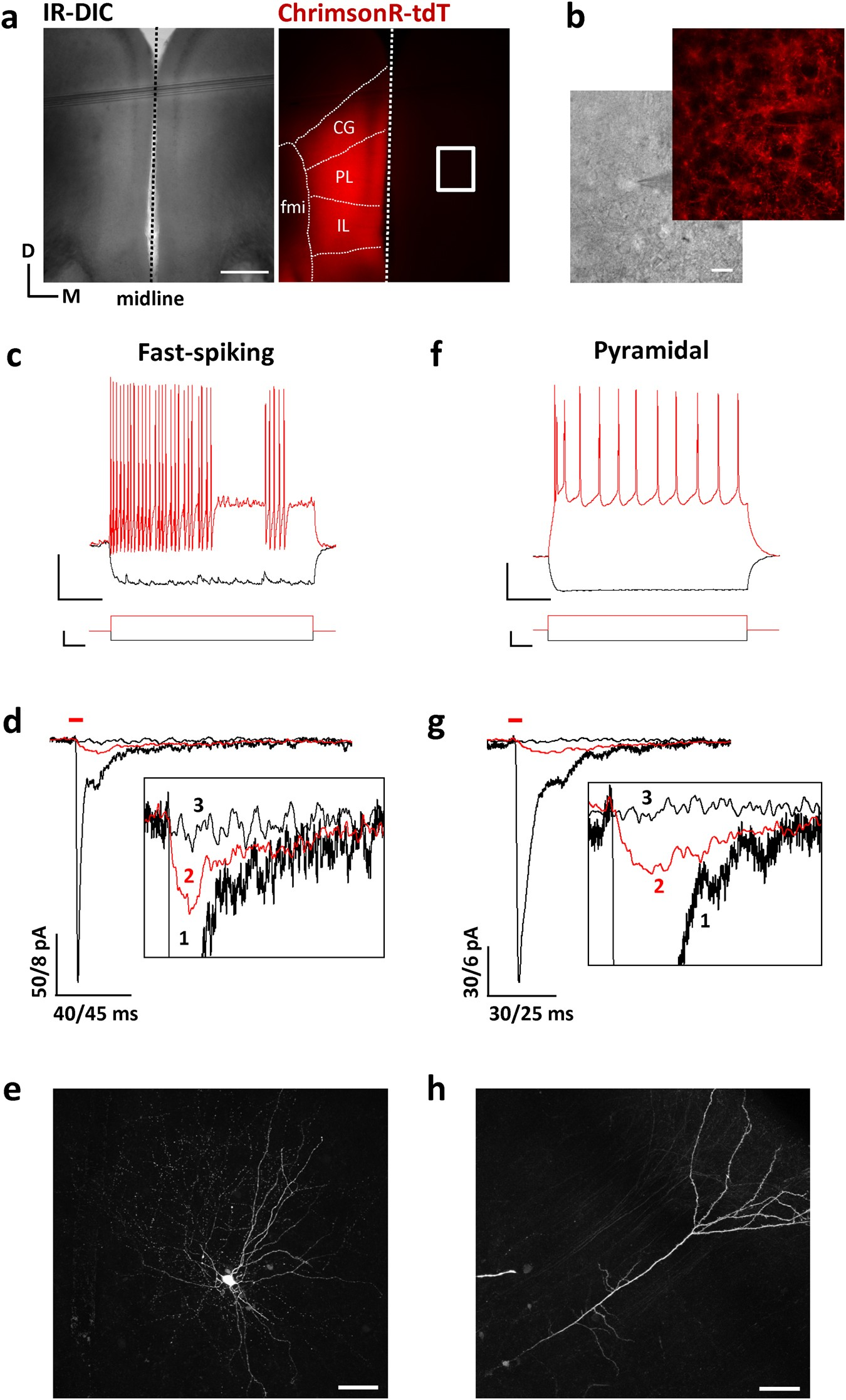 Multiple Long Range Inputs Evoke Nmda Currents In Prefrontal Cortex This Circuit Produces A Voltage Proportional To Current And Isolates Fast Spiking Interneurons Neuropsychopharmacology