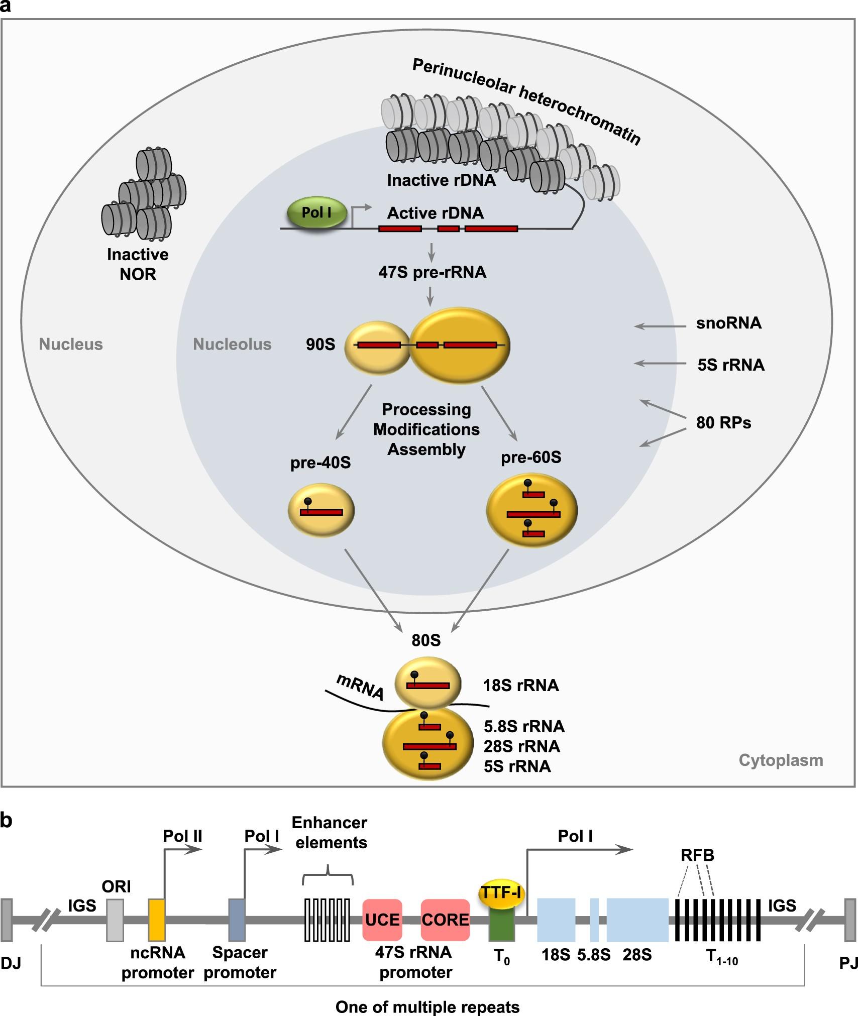Nucleolus As An Emerging Hub In Maintenance Of Genome Stability And Bernardi Burger Polos 6 Bj Cancer Pathogenesis Oncogene