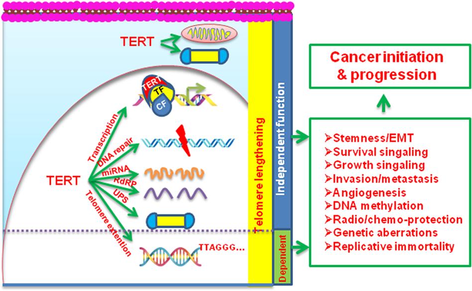 Mechanisms underlying the activation of TERT transcription