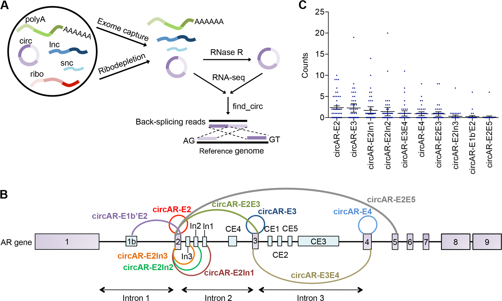 Circular RNAs add diversity to androgen receptor isoform repertoire in
