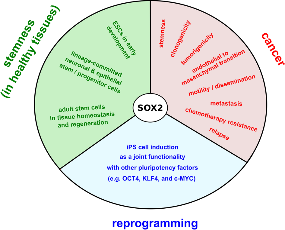 SOX2 protein biochemistry in stemness, reprogramming, and