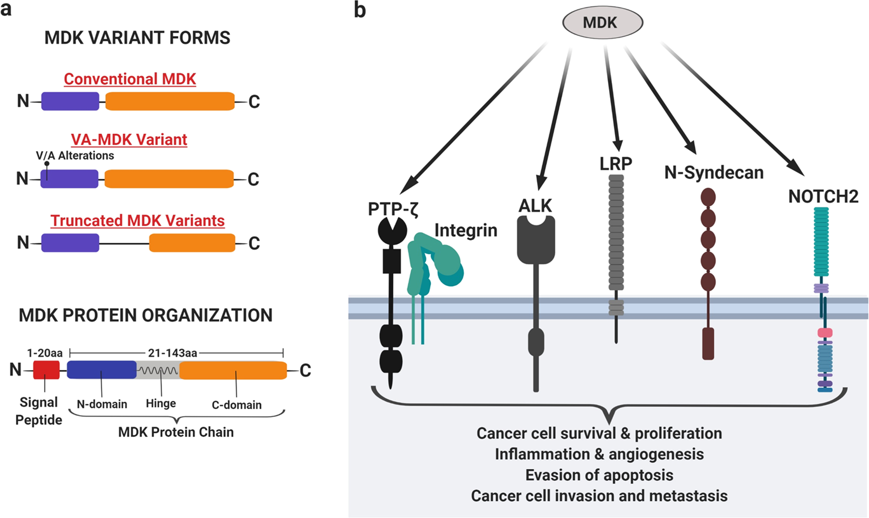 Midkine (MDK) growth factor: a key player in cancer progression and a