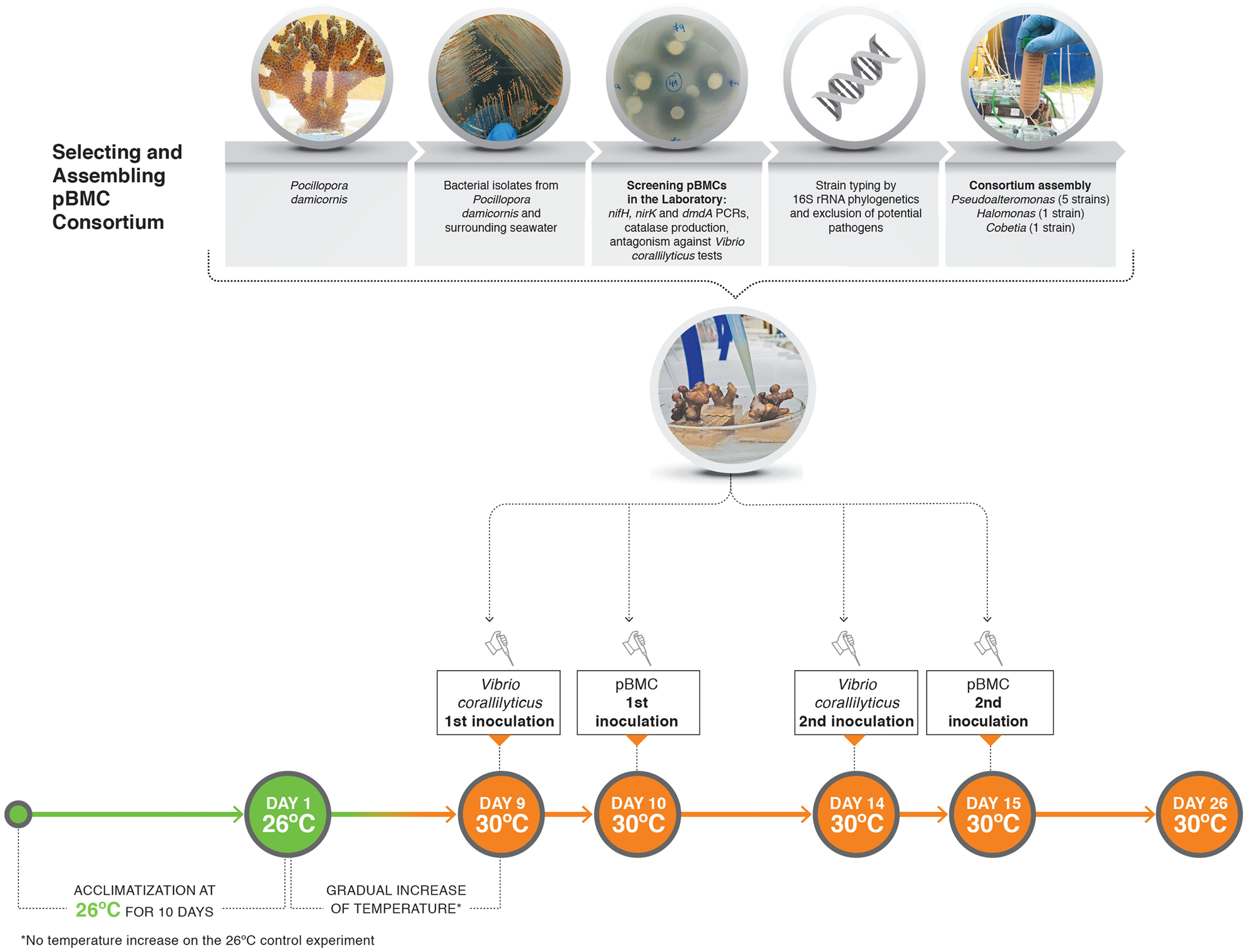 Marine probiotics increasing coral resistance to bleaching through