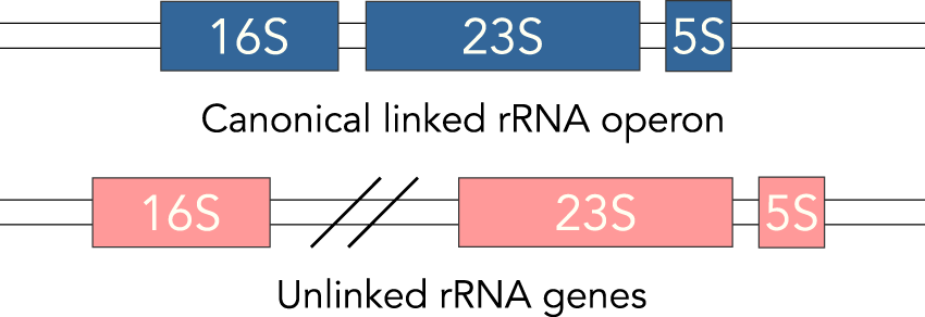 Unlinked rRNA genes are widespread among bacteria and archaea