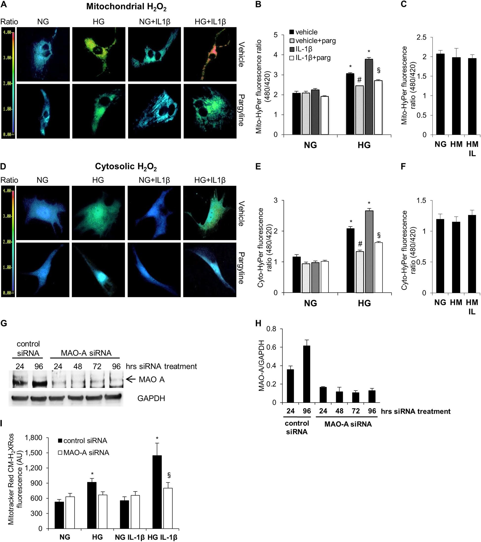 Monoamine oxidase-dependent endoplasmic reticulum