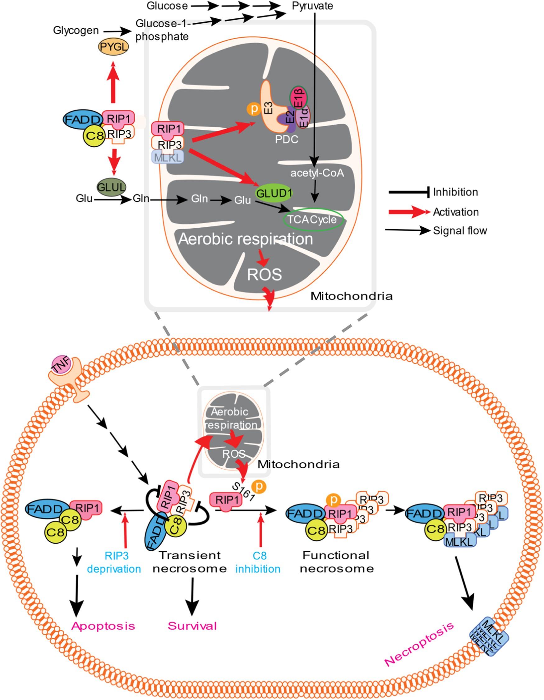 rip3 is an upregulator of aerobic metabolism and the enhanced