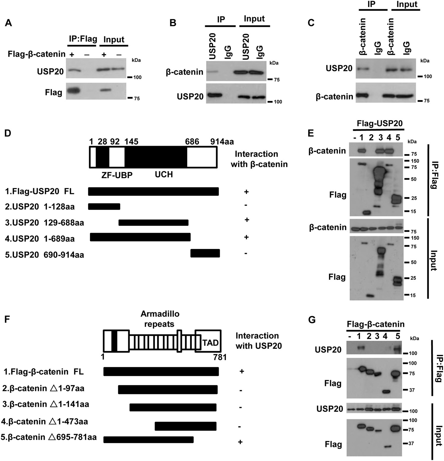 Usp Positively Regulates Tumorigenesis And Chemoresistance Through B Catenin Stabilization Cell Death Differentiation