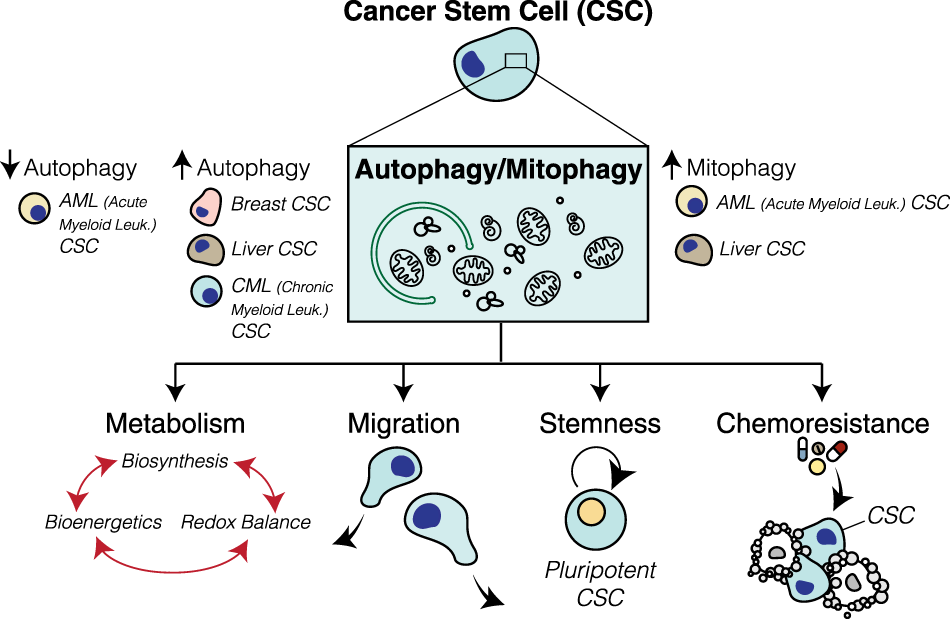Autophagy and cancer stem cells: molecular mechanisms and