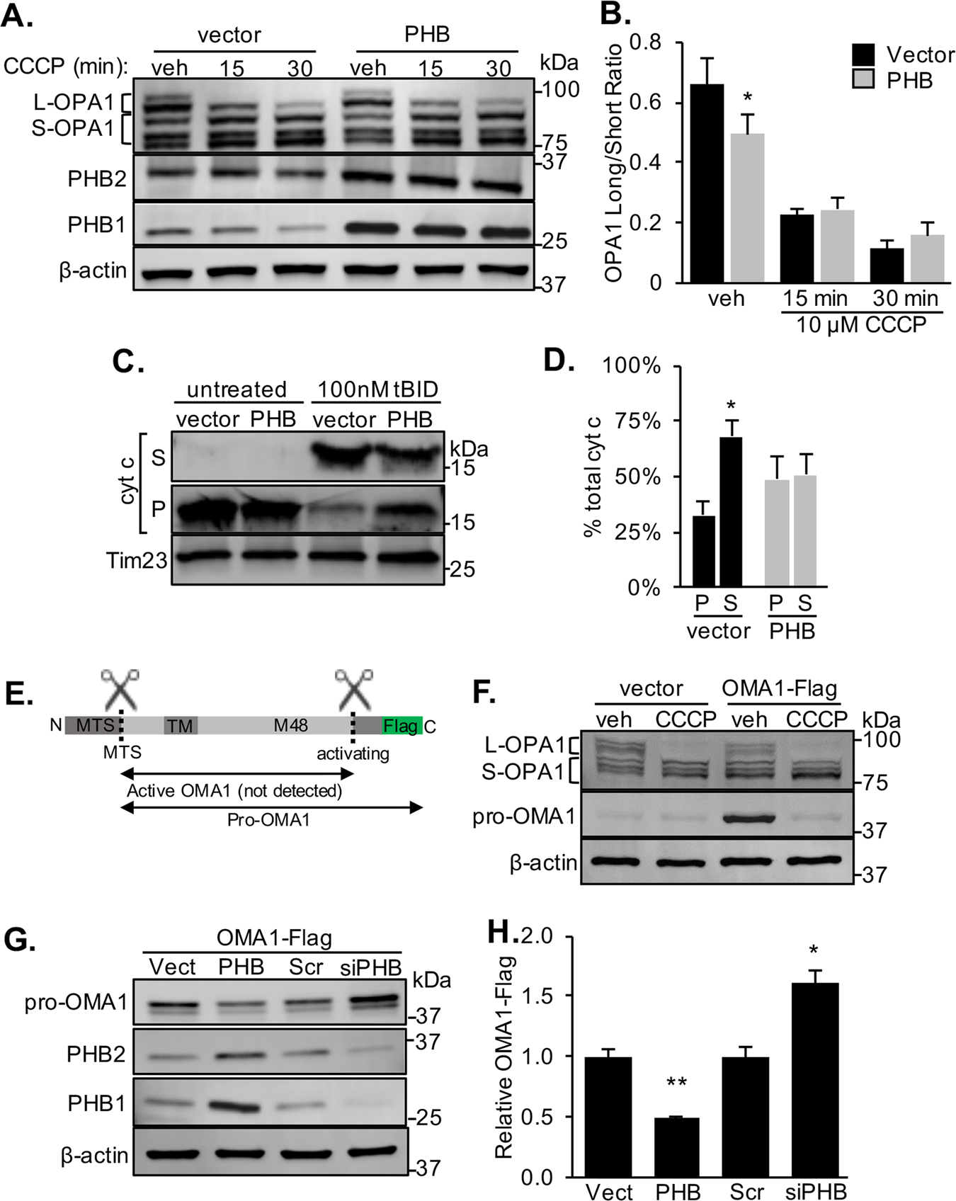 Prohibitin levels regulate OMA1 activity and turnover in neurons