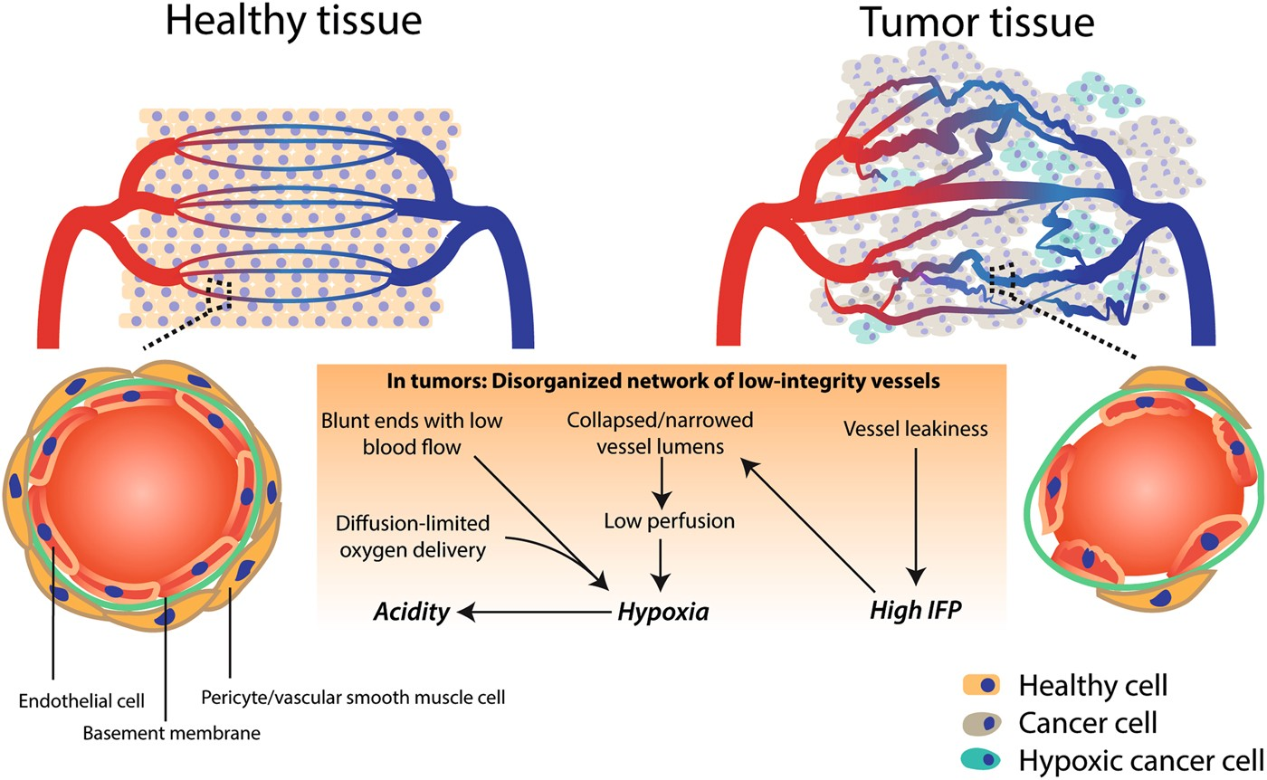 defining the role of the tumor vasculature in antitumor immunity and