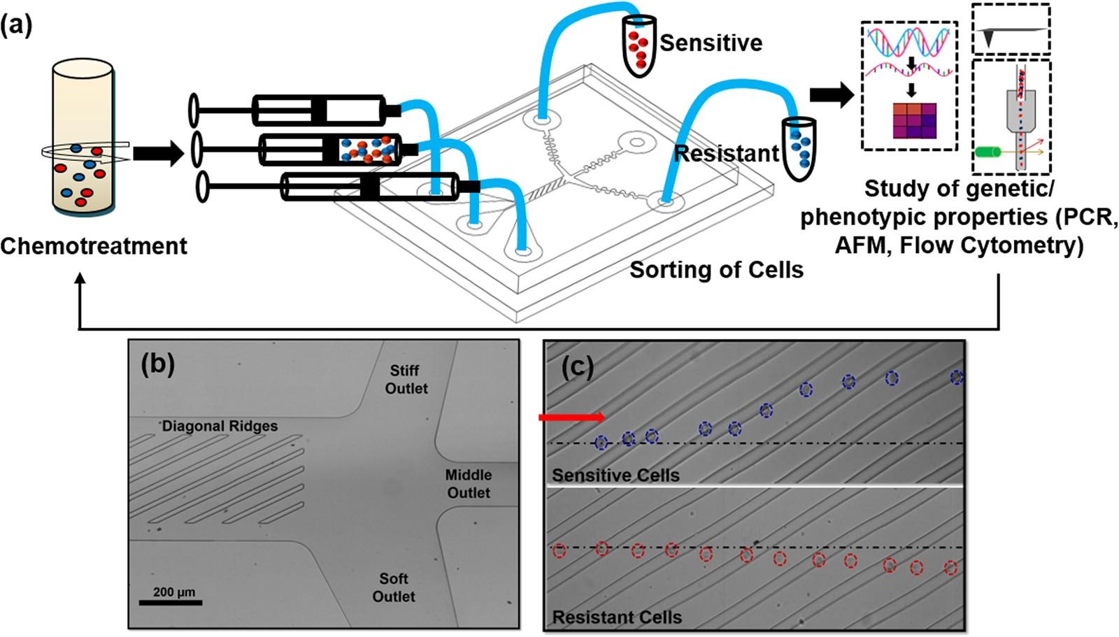 Microfluidic cell sorting by stiffness to examine heterogenic ...