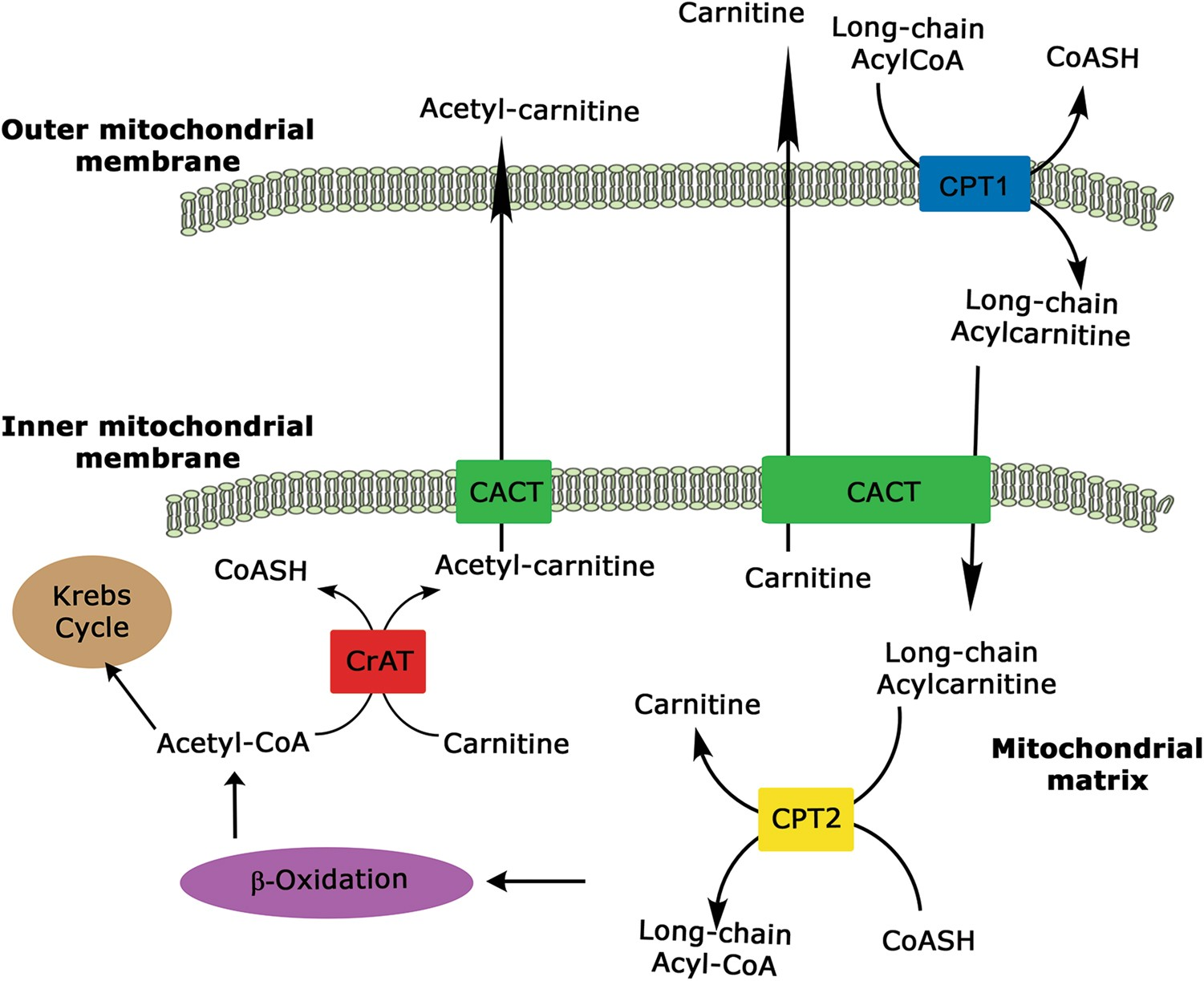 the carnitine system and cancer metabolic plasticity cell deaththe carnitine system and cancer metabolic plasticity cell death \u0026 disease