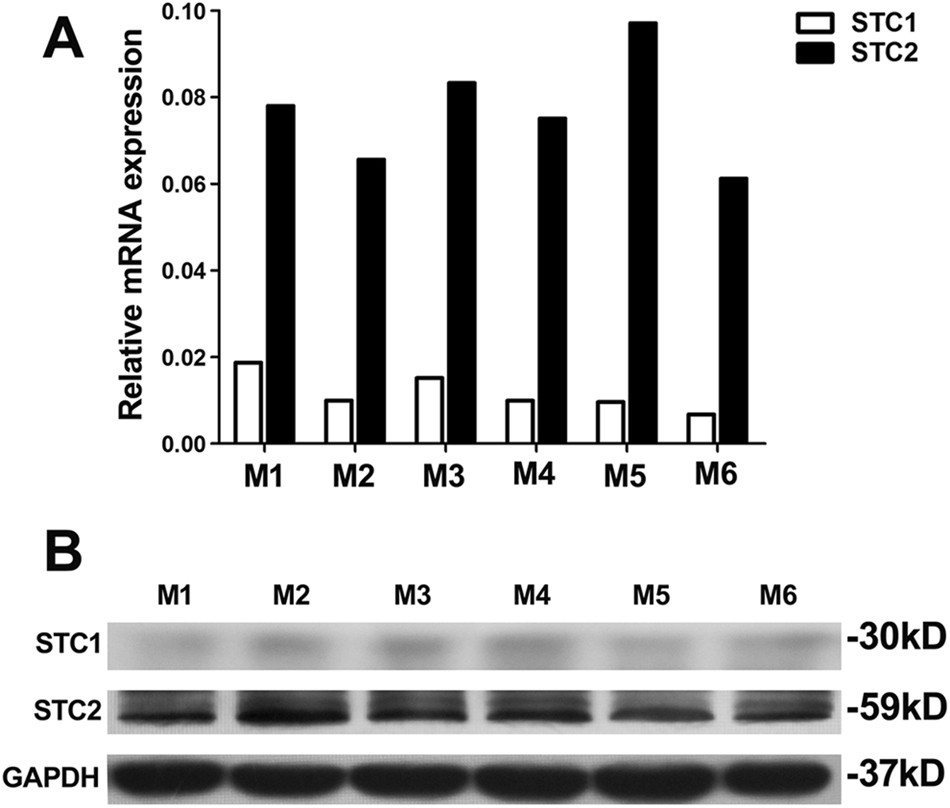 Stanniocalcin-2 contributes to mesenchymal stromal cells