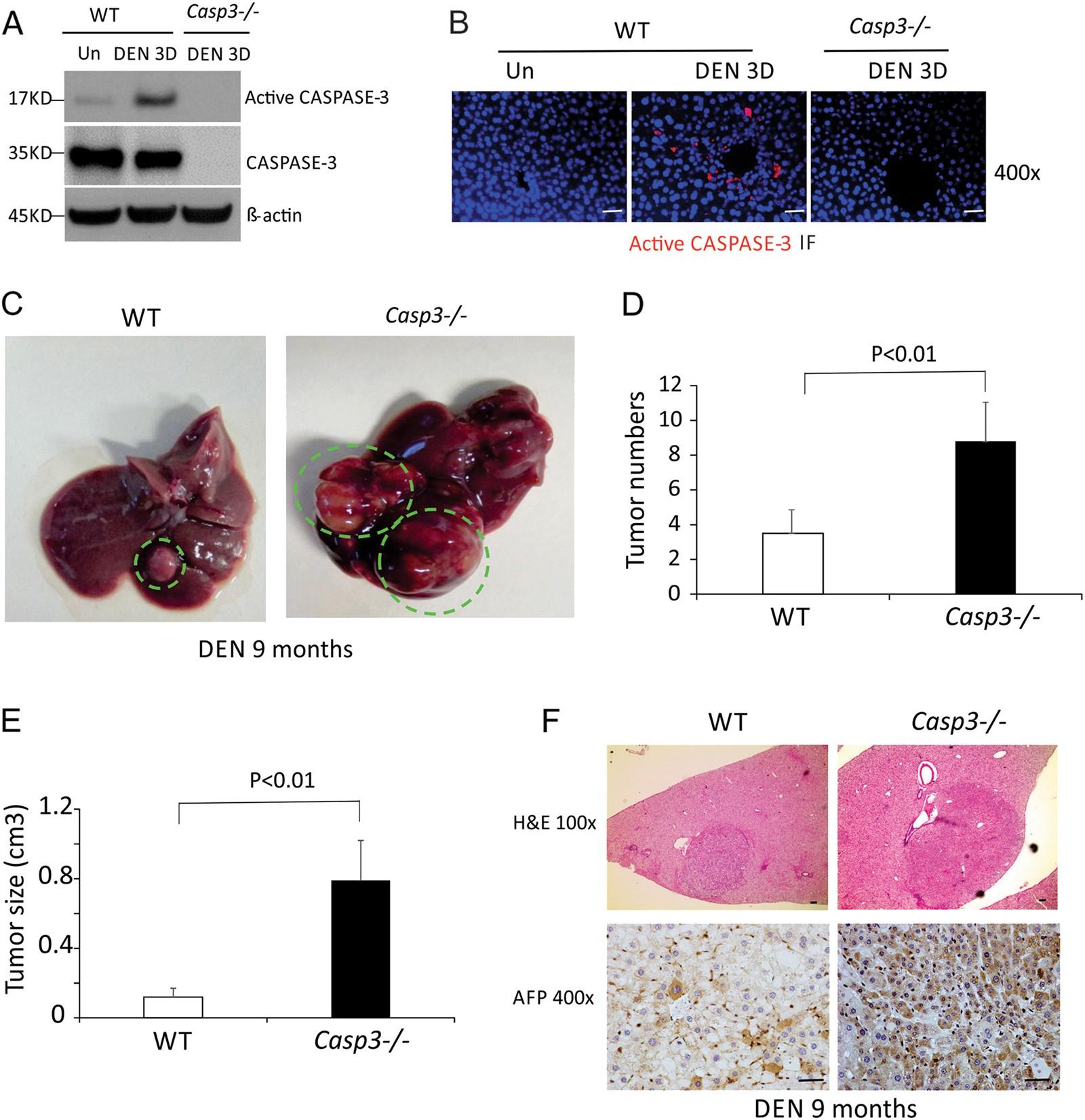 Caspase-3 suppresses diethylnitrosamine-induced hepatocyte
