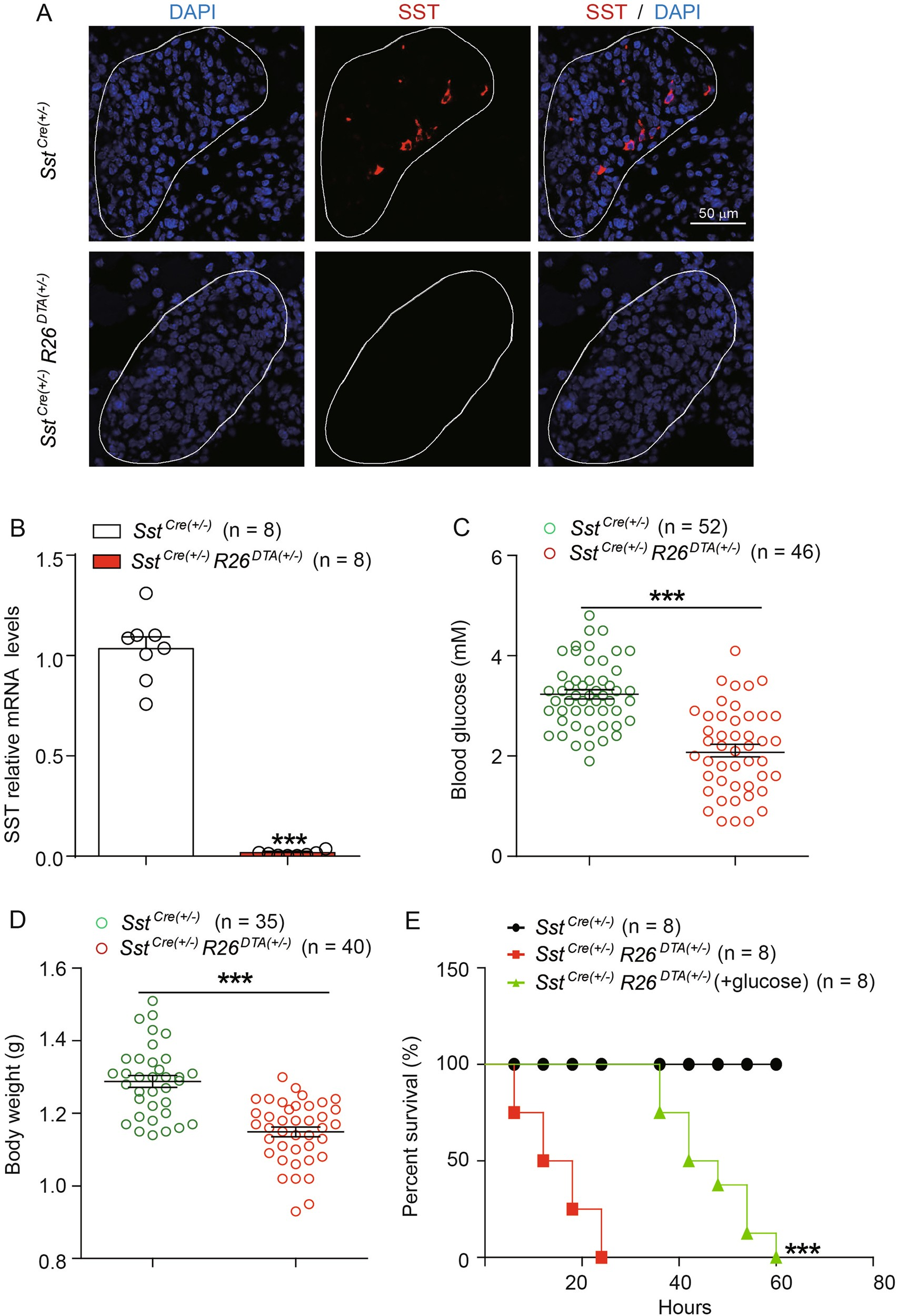Ablation Of Somatostatin Cells Leads To Impaired Pancreatic Islet This Circuit Produces A Voltage Proportional Current And Isolates Function Neonatal Death In Rodents Cell Disease