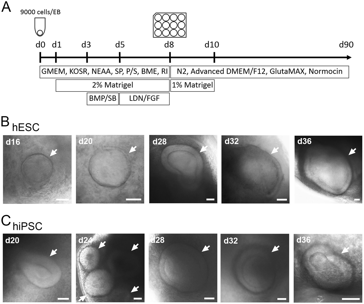 Generating inner ear organoids containing putative cochlear