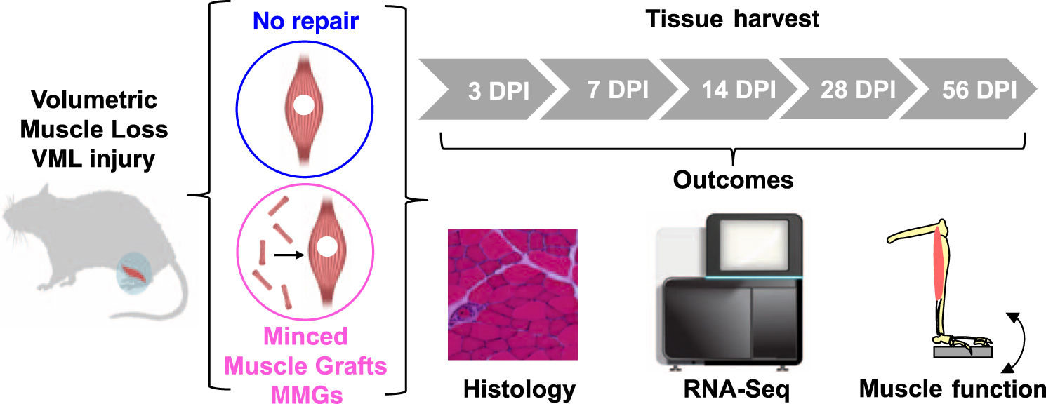 Multiscale Analysis Of A Regenerative Therapy For Treatment Of
