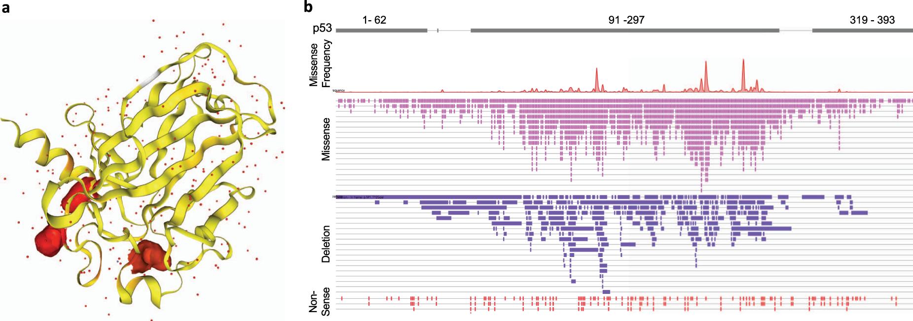 How mutant p53 empowers Foxh1 fostering leukaemogenesis?