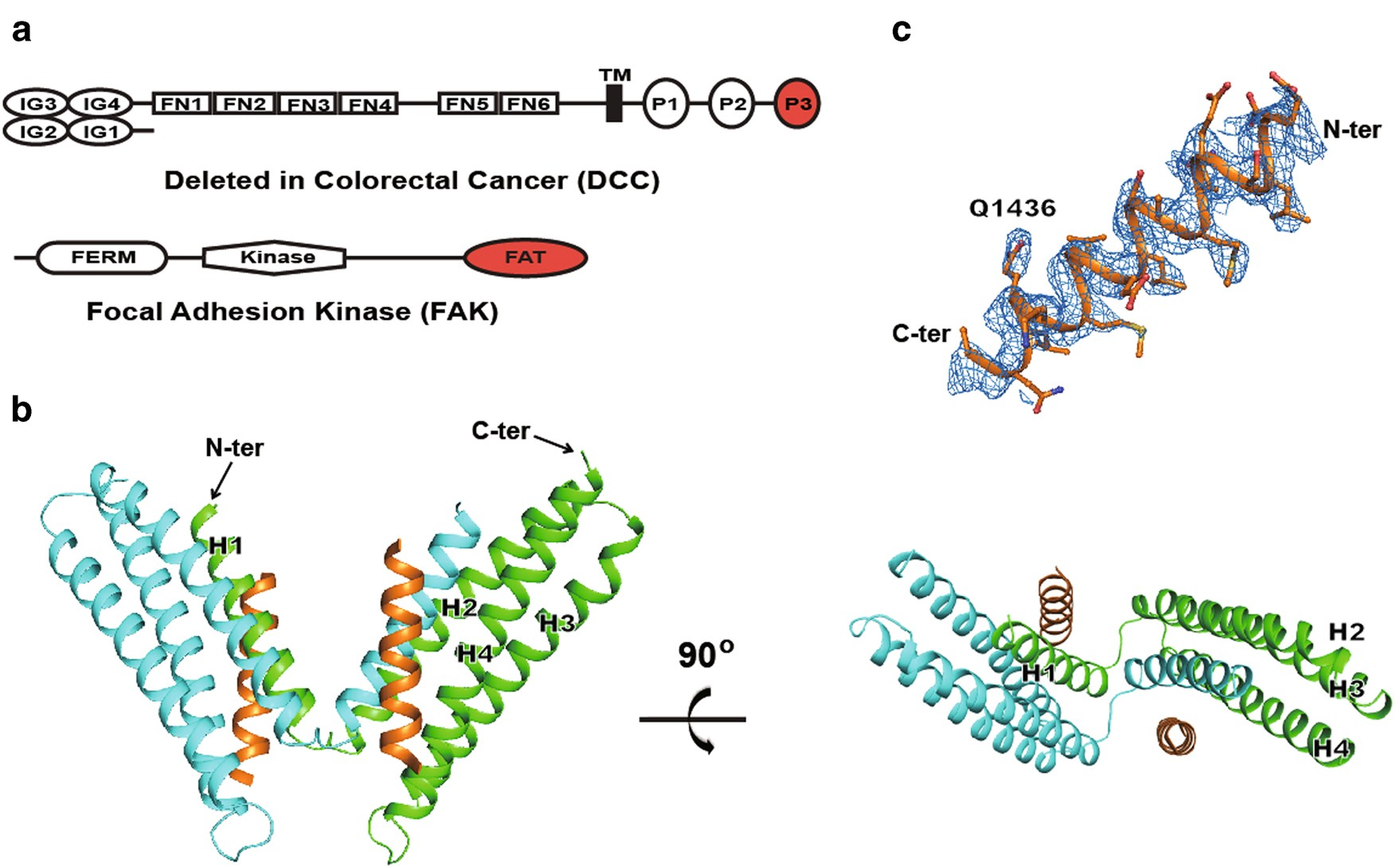 The binding of DCC-P3 motif and FAK-FAT domain mediates the initial
