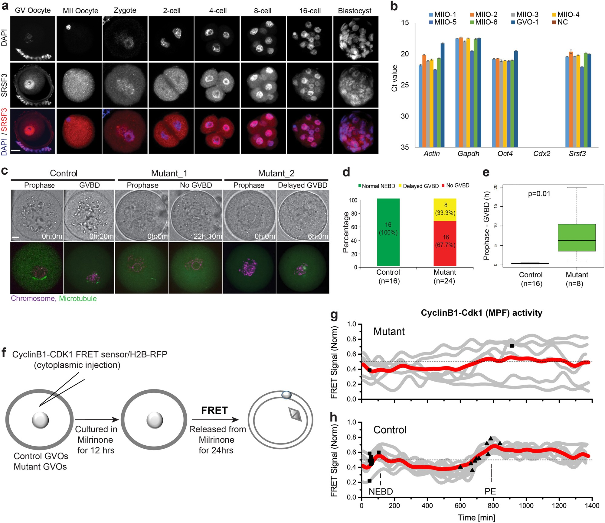 SRSF3 maintains transcriptome integrity in oocytes by regulation of  alternative splicing and transposable elements | Cell Discovery