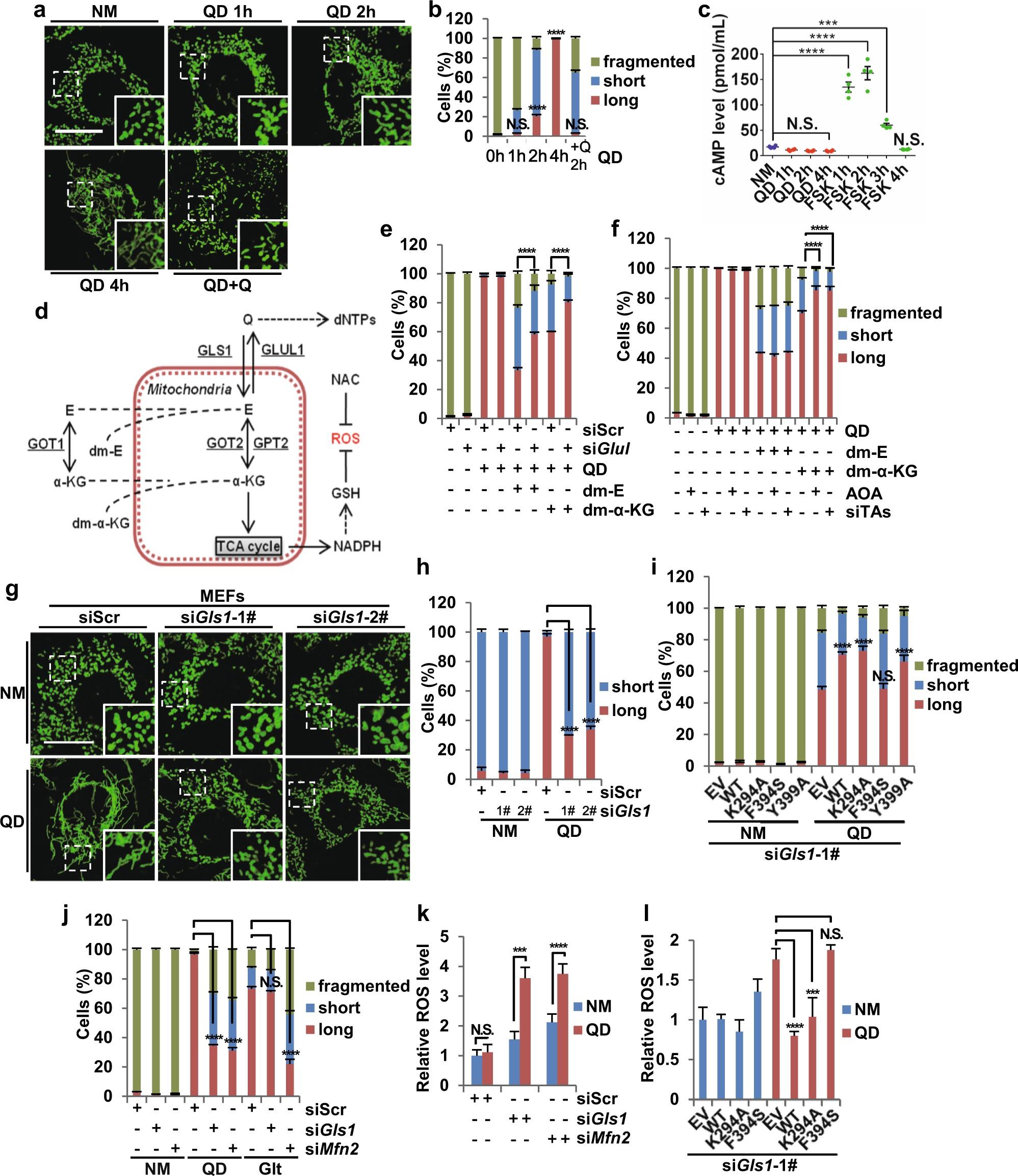 Glutaminase GLS1 senses glutamine availability in a non-enzymatic ...