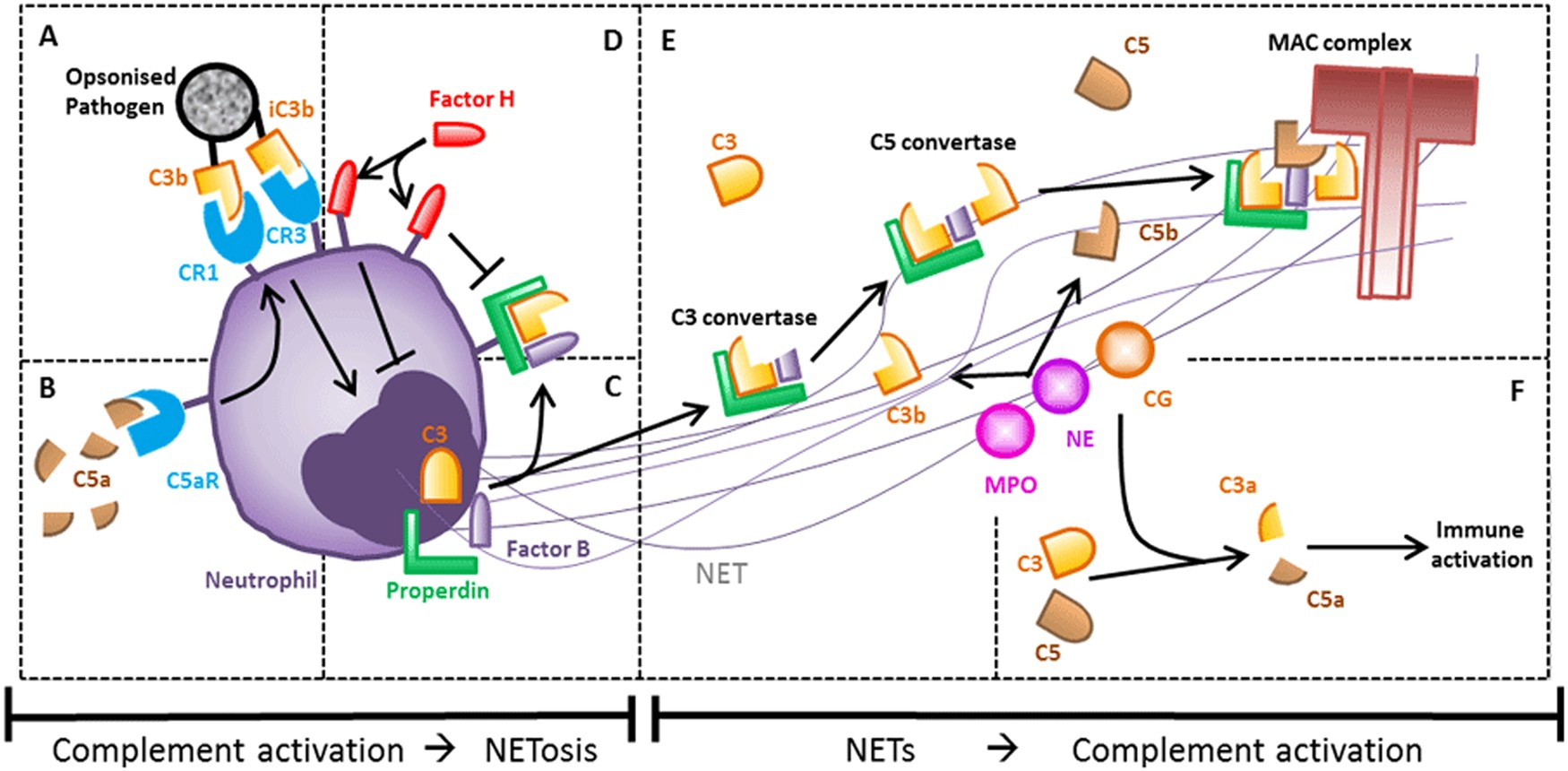 Netosis Complement And Coagulation A Triangular Relationship Against Electric Shock Language Warning Circuit Diagram Signal Cellular Molecular Immunology