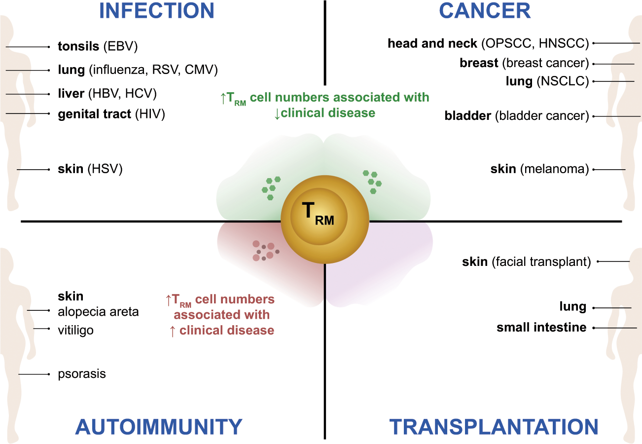 Local heroes or villains: tissue-resident memory T cells in human heal