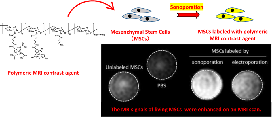 Sonoporation-based labeling of mesenchymal stem cells with