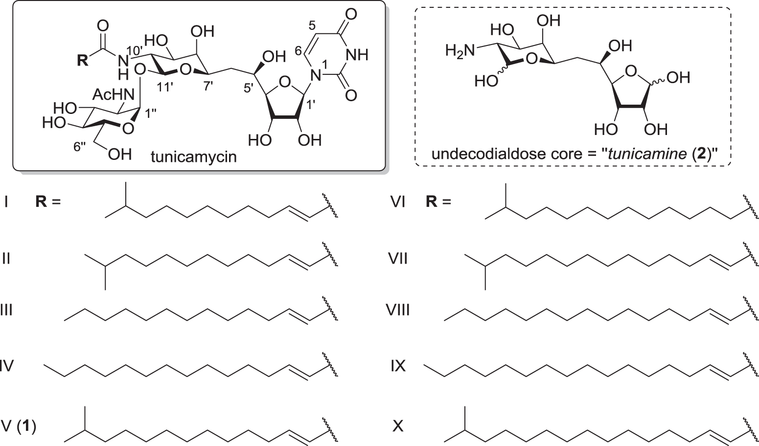 Tunicamycin: chemical synthesis and biosynthesis