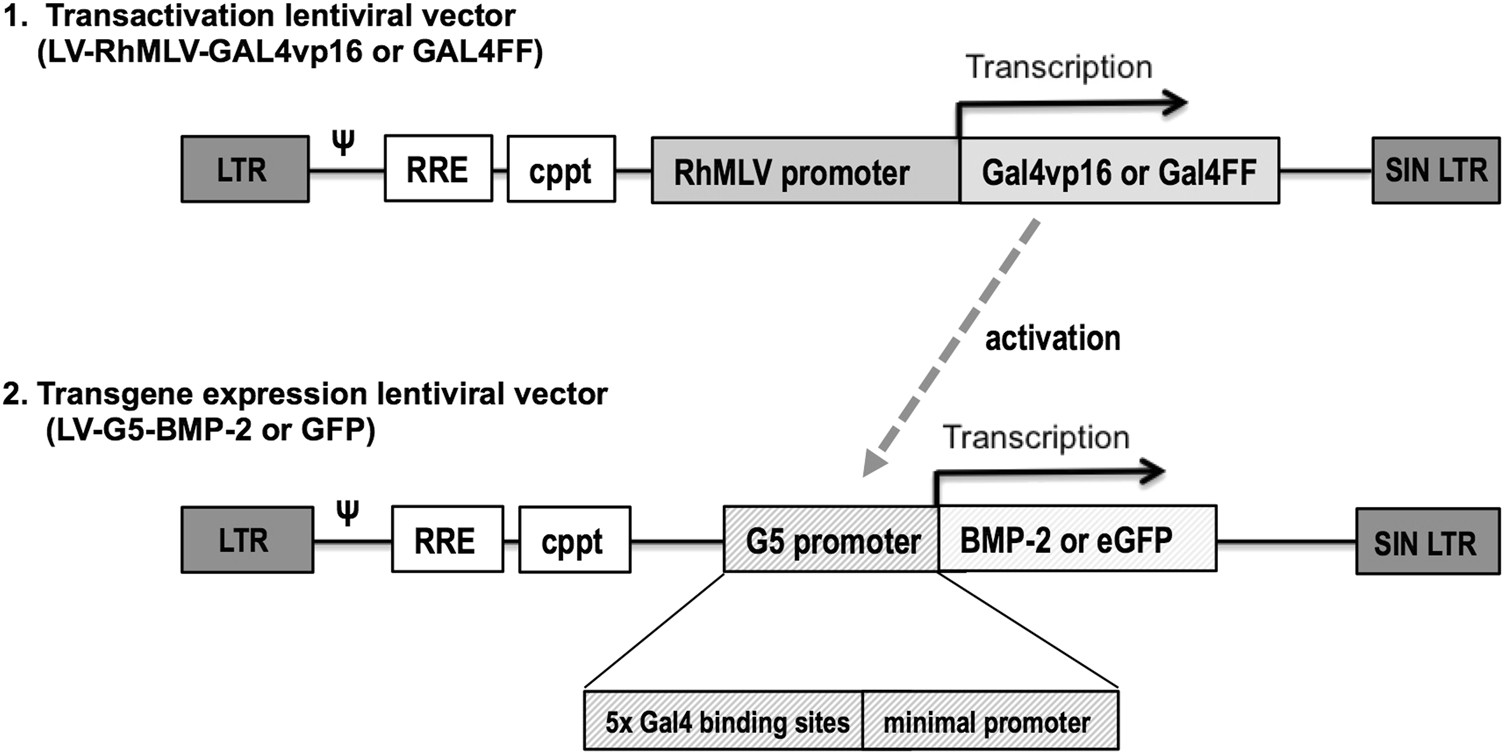 In vitro evaluation of a lentiviral two-step transcriptional amplification  system using GAL4FF transactivator for gene therapy applications in bone  repair ...