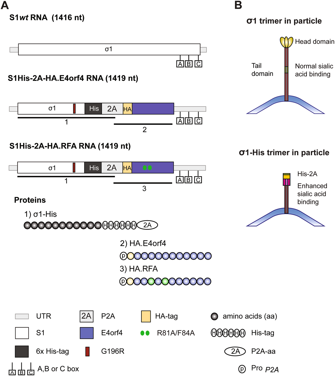 Characterization of a replicating expanded tropism oncolytic reovirus  carrying the adenovirus E4orf4 gene | Gene Therapy