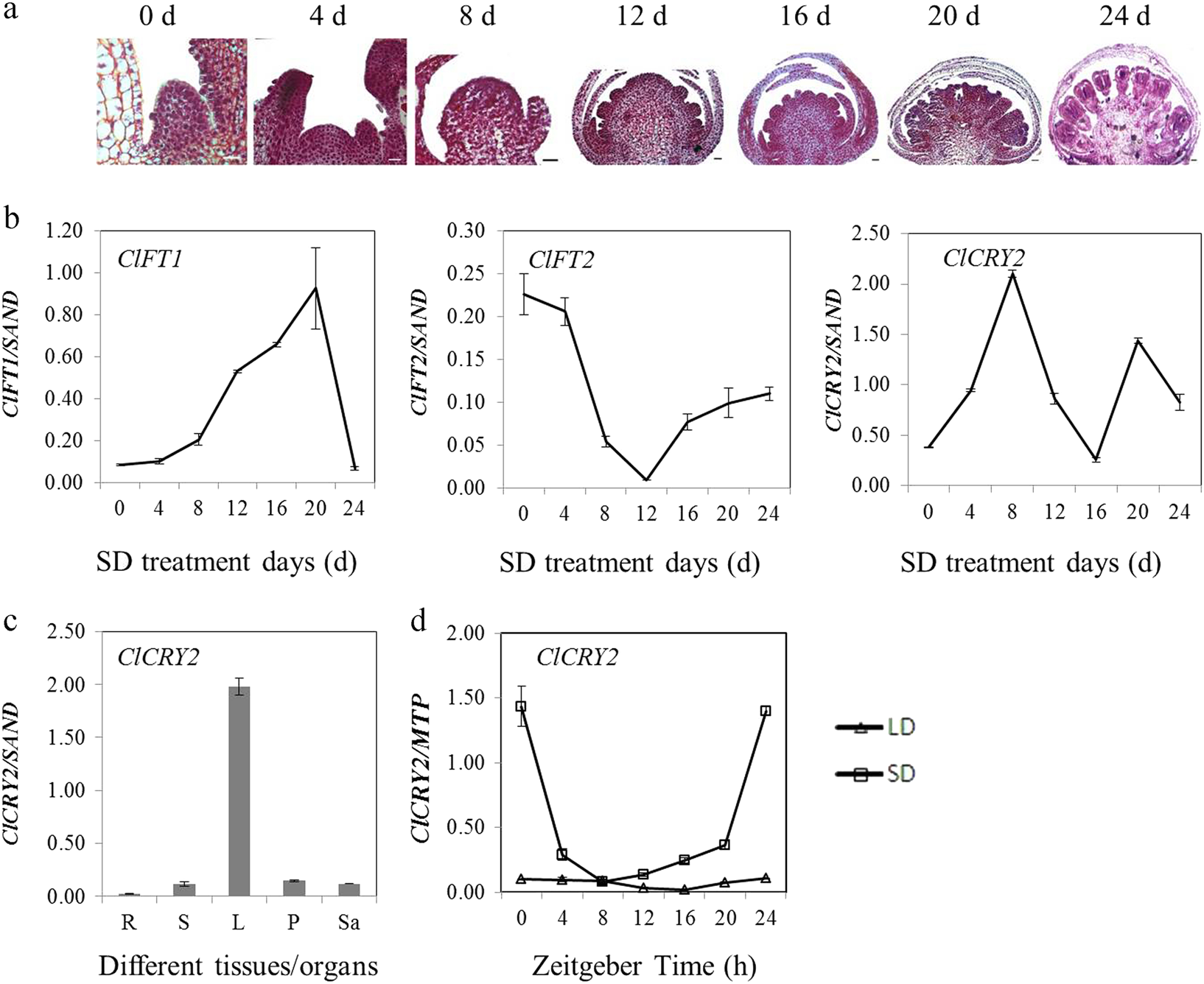 ClCRY2 facilitates floral transition in Chrysanthemum