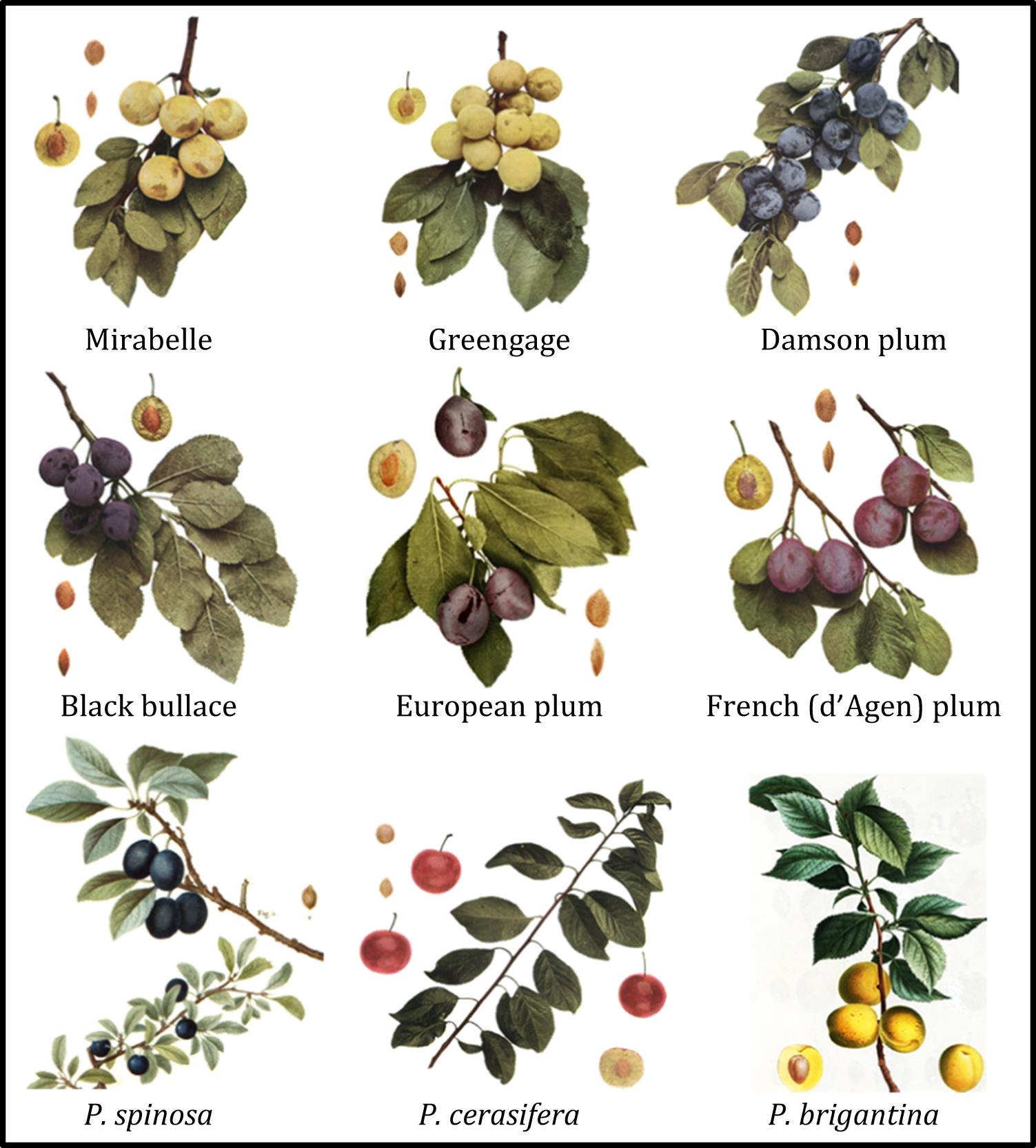Genetic Characterization Of Worldwide Prunus Domestica Plum