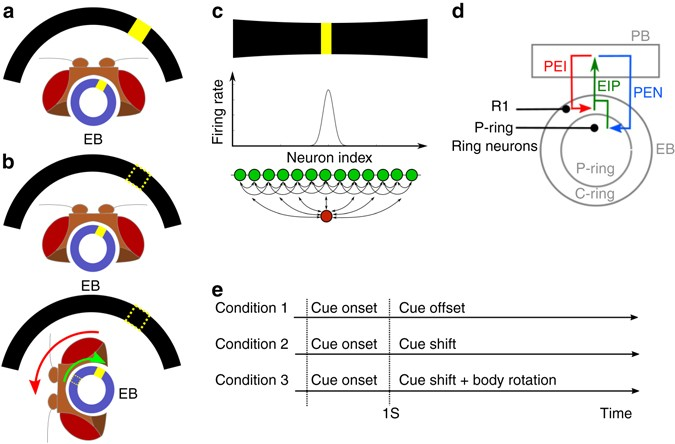 Coupled Symmetric And Asymmetric Circuits Underlying Spatial