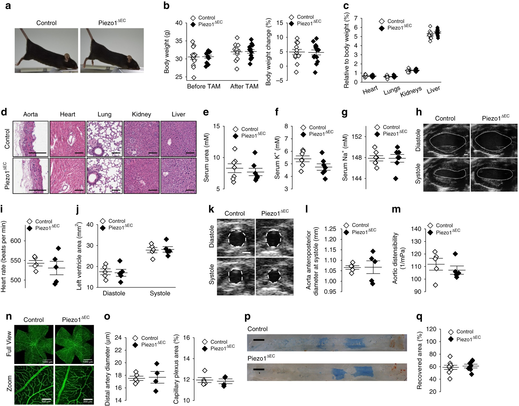 Piezo1 Channels Sense Whole Body Physical Activity To Reset Process Flow Diagram Valve Symbols Cardiovascular Homeostasis And Enhance Performance Nature Communications