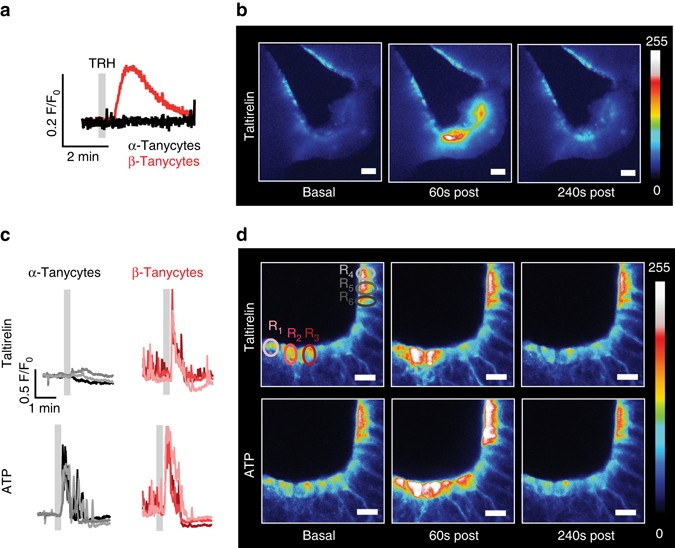 Tanycytes control the hormonal output of the hypothalamic-pituitary