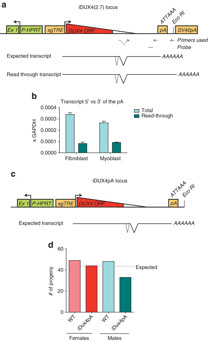 Muscle pathology from stochastic low level DUX4 expression